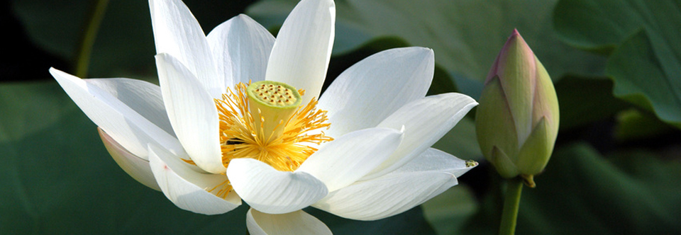 The Symbolism of the Lotus and the Muddy Pond